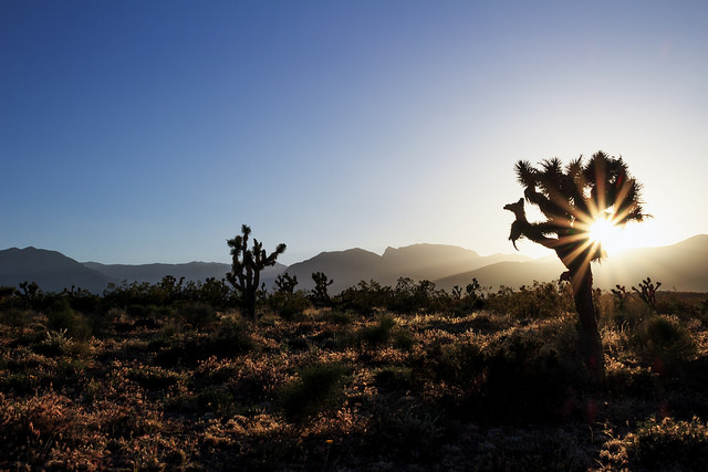 The Joshua Tree Aesthetic How The Mojave Yucca Became A Symbol Of